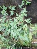 绿色植物红色果子 库存照片