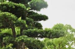 绿色植物:杉树分行 库存照片