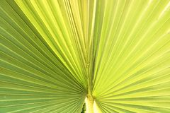 绿色椰子叶子在罐 库存照片