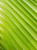 绿色椰子叶子是背景 库存照片