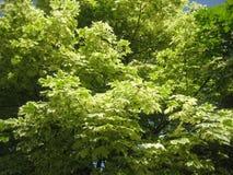 绿色槭树。 库存图片
