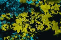 绿色槭树在夏天森林里 库存照片