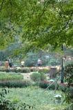 绿色槭树 免版税图库摄影