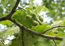 绿色橡子在橡木增长在森林里 库存图片