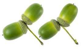 绿色橡子种子 免版税库存图片