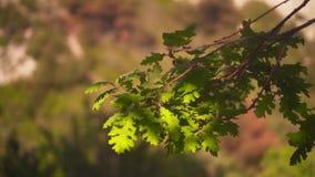绿色橡木在一好日子离开 橡木离开以森林为背景 股票录像