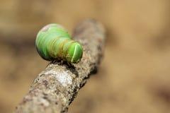 绿色毛虫的图象在分支的 昆虫 敌意 库存图片