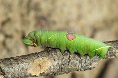 绿色毛虫的图象在分支的 昆虫 敌意 免版税库存图片