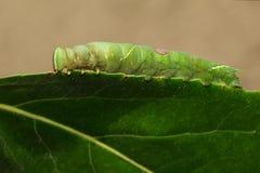 绿色毛虫的图象在绿色叶子的 昆虫 敌意 免版税图库摄影