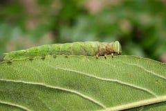 绿色毛虫的图象在绿色叶子的 昆虫 敌意 库存照片