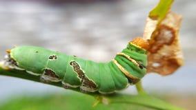 绿色毛虫 库存照片