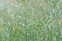 绿色油菜籽领域,油菜籽词根,油菜籽种子荚 免版税库存照片