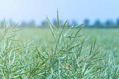 绿色油菜籽领域,油菜籽词根,油菜籽种子荚 免版税图库摄影