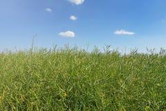 绿色油菜籽领域,油菜籽词根,油菜籽种子荚 库存图片