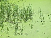 绿色沼泽在北泰国 免版税库存照片