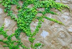 绿色波士顿常春藤 库存图片