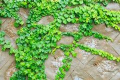 绿色波士顿常春藤 免版税库存图片