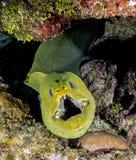 绿色海鳗, Gymnothorax funebris 图库摄影