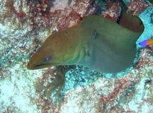 绿色海鳗 免版税库存图片