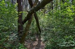 绿色混合具球果和落叶林Ðœagnetic风景有可爱的道路的在Vitosha山 免版税库存图片