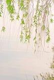 绿色湖杨柳 免版税库存照片