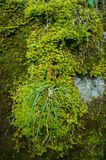 绿色湿青苔 免版税图库摄影