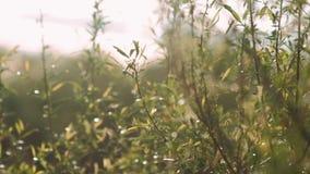 绿色灌木分支在风在阳光下摇摆在早期的春天 股票录像