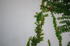 绿色灌木在一个混凝土墙上增长 在混凝土墙背景的绿色叶子 免版税图库摄影