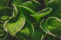 绿色灌木玉簪属植物 自然背景图象 免版税库存照片