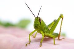 绿色热带蚂蚱在手边 庭院蚂蚱顶头特写镜头 异乎寻常的昆虫macrophoto 夏天蚂蚱 库存图片
