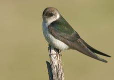 绿色燕子紫罗兰 库存照片