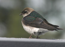 绿色燕子紫罗兰 免版税库存照片