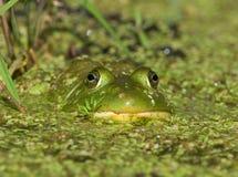 绿色牛蛙 免版税库存照片