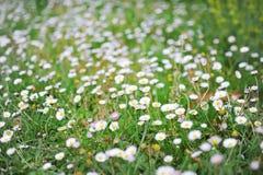 绿色牧场地和绿草水平的照片有白色春黄菊花的 库存图片