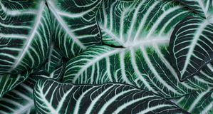 绿色特写镜头离开与白色条纹 免版税库存照片