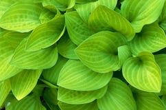 绿色玉簪属植物叶子 免版税库存图片