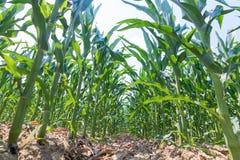 绿色玉米成长在领域 玉米绿色植物 免版税库存图片