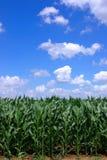 绿色玉米 免版税库存照片
