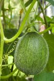 绿色瓜 图库摄影