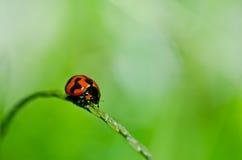 绿色瓢虫本质 免版税库存图片