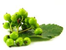 绿色瓢虫枝杈 免版税图库摄影