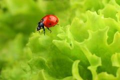 绿色瓢虫离开红色 免版税库存照片
