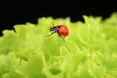 绿色瓢虫离开红色 库存图片