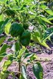 绿色甜椒在布什增长在庭院里 库存图片