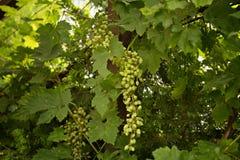 绿色生长在藤的农厂土气葡萄 库存照片
