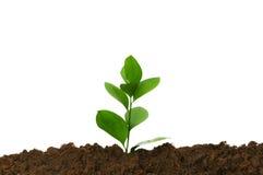 绿色生长幼木土壤 免版税库存照片