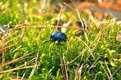 绿色甲虫爬行 免版税库存图片
