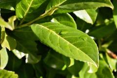 绿色留下叶子厂布什自然黑色莓果绽放太阳太阳 库存图片