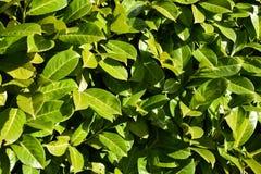 绿色留下叶子厂布什自然黑色莓果绽放太阳太阳 免版税库存图片