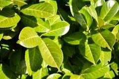 绿色留下叶子厂布什自然黑色莓果绽放太阳太阳 免版税库存照片